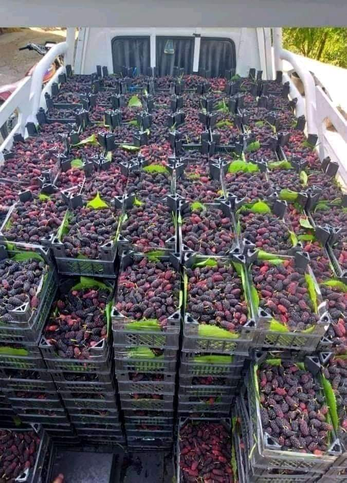 سورية الأولى عربياً بإنتاج التوت الشامي ويقدر بـ1272 طناً