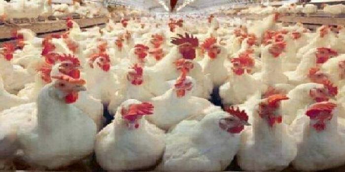 عضو لجنة مربي الدواجن : 70 بالمئة انخفاض إنتاج البيض و35 بالمئة الفروج في 3 أشهر