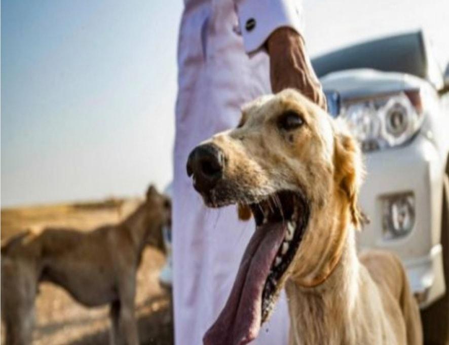 سوريون يصدرون الكلاب السلوقية للخليج: ثمن الكلب 4 ملايين ليرة
