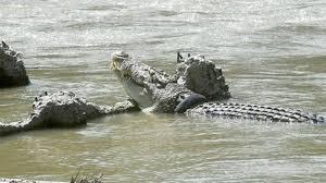 هرب من الشرطة فعلق في «بحيرة التماسيح»