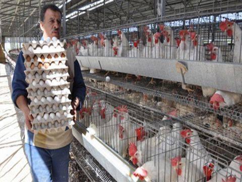 850 مدجنة تنتج مليار بيضة و1600 طن لحم أبيض
