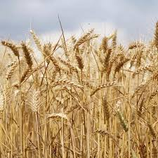 عقود لاستيراد مليون طن من القمح الروسي قيد التوريد