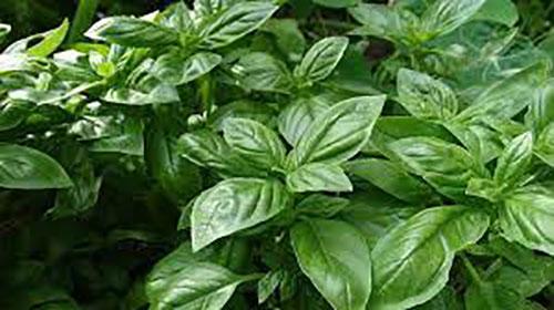 هذه النباتات طاردة للذباب والبعوض