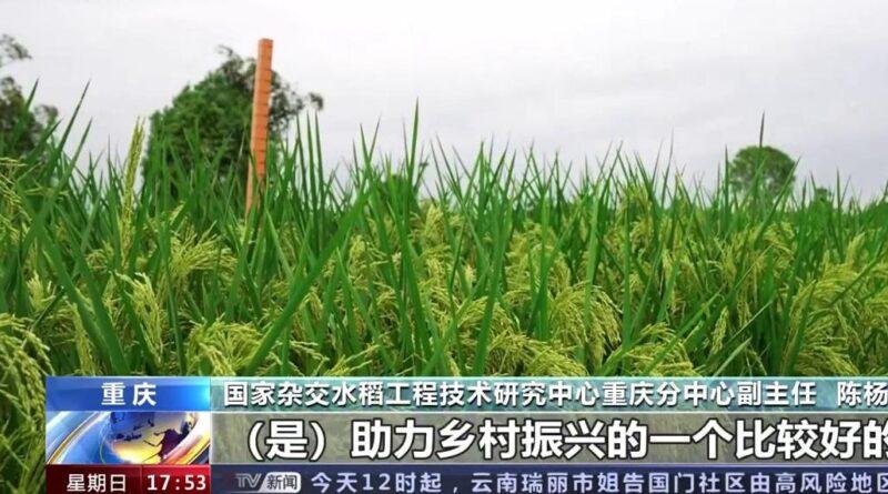 """علماء صينيون يبتكرون """"الأرز العملاق"""""""