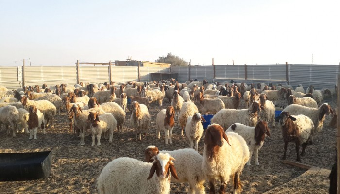 وزير الزراعة: السماح بتصدير الأغنام لم يرفع أسعارها في السوق المحلية
